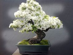 Apple Tree - Bonsai-art, bonsai-tree, bonsai-Japan, bonsai.