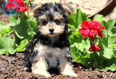 Bubbles | Morkie Puppy For Sale | Keystone Puppies  #Morkie #keystonepuppies