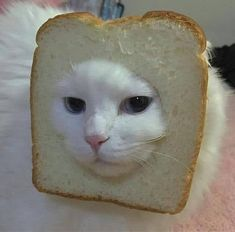 """20 """"Inbread"""" Cats: I'm Not Sure Whether to Laugh or Roll My Eyes - Love Cute Animals Cute Baby Animals, Animals And Pets, Funny Animals, I Love Cats, Cool Cats, Gatos Cool, Photo Chat, Animal Memes, Cat Memes"""