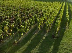 Le vignoble du Clos Saint-Hilaire au coucher de soleil