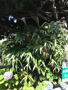 近所のお宅のビカクシダPlatycerium。木に寄生させて10年でこうなったんですって!2013初夏