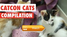 😸 CatCon Tickets Funny Cat Pet Video Compilation 🐶 Pumped for CatCon Grab your tickets today to be a part of the ultimate cat experience…