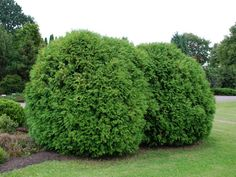 Figure out which of these common arborvitae species is best for your yard. Large Flowers, White Flowers, Arborvitae Landscaping, Juniper Tree, Winter Plants, Agave Plant, Magnolia Trees, Flowering Vines