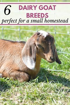 Trying to decide on the perfect dairy goat breeds for your small homestead? These 6 dairy goat breeds are great for beginners raising dairy goats on a small (or large) farm.