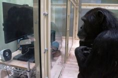"A gorilla-suit experiment reveals our closest animal relatives may possess ""theory of mind"""