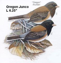 Oregon Junco - All winter, by the hundreds...feast on  small seeds, in tray feeder and scattered just outside patio door.