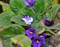 Violetas Azuis em Flores