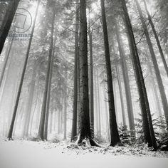 Only the Forests Know Why, Oberstaufen, Germany, 2013 (b/w photo) / Photo © Ronny Behnert / Bridgeman Images