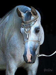 Shyna 2010 grey Straight Egyptian mare Arabian Horses, Egyptian, Grey, Animals, Gray, Animales, Animaux, Animal, Animais