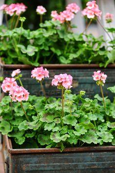Houseplants That Filter the Air We Breathe Geraniums Contained In Metal Trays Cranesbill Geranium, Pink Geranium, Garden Shop, Garden Pots, Love Flowers, Beautiful Flowers, Flannel Flower, Red Geraniums, Cactus