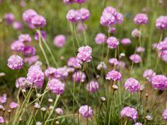 Purple Flowers in a Field by David Evans