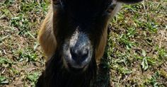 8 Things to Know Before Owning a Buck Goat  If you want your does in milk first they need to have baby goats. To have baby goats the does must be bred first. To breed a buck is needed. Sounds simple right? The options to impregnate a doe are artificial insemination rent or borrow a buck or own a buck to use for breeding.  First lets clarify a buck is an intact male goat over one year old. You may have heard them referred to in laymens terms as a billy goat. A buckling is an intact young male…