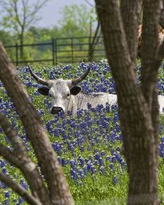 Love❤.Longhorn in the bluebells - Texas                                                                                                                                                                                 More