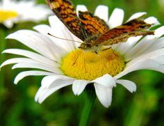 butterfly daisy by swordedsaint
