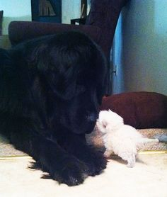 Newfie meets kitty
