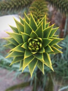 Higgins and Cole Antiques Garden Plants, Duke, Succulents, Fruit, Antiques, Vintage, Antiquities, Antique, Succulent Plants