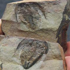 Trilobite Alokistocare piochensis Cambrian Utah fosilies lot fossils Trilobiten