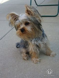 Yorkshire Terrier information and pictures, Yorkshire Terriers, Yorkie, Yorkies #YorkshireTerrier