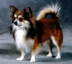 long hair tri color chi