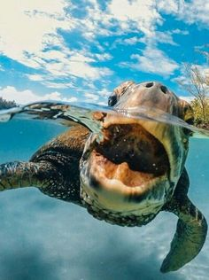 The popularity of tortoises as pets has increased over time. This is because they are silent, they do not shed any far and they are cute. They are most cute Cute Creatures, Sea Creatures, Beautiful Creatures, Animals Beautiful, Beautiful Images, Animals And Pets, Baby Animals, Funny Animals, Cute Animals