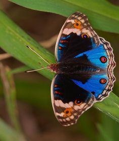 IMG_8743  blue pansy (Junonia orithya)