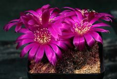 Sulcorebutia pulchra G164 (1)