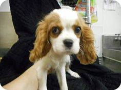 North Brunswick, NJ - Cavalier King Charles Spaniel. Meet Lady, a puppy for adoption. http://www.adoptapet.com/pet/11915838-north-brunswick-new-jersey-cavalier-king-charles-spaniel