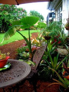 Mini Tropical Oasis: morning coffee spot - ensconced in bromeliads and tropical plants.  Create your oasis!  Check out our Outdoors and Gardening blogs: http://www.kickshawinc.com/category/articles/home-and-garden/diy-tropical-fence-border/