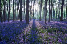 A stunning morning on a late spring day in a magnificent English Beech woodland, Hampshire, U.K