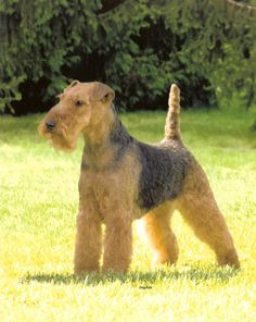 Welsh Terrier image 9