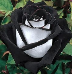 "Uma rosa negra (The Black Rose is found in a region in Turkey called ""Halfatty"". This type has two colours, which makes it extremely rare. Unusual Flowers, Rare Flowers, Black Flowers, Amazing Flowers, Beautiful Roses, Red Roses, Beautiful Flowers, Black Rose Bouquet, Black Magic Roses"