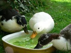 call ducks