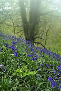 spring bluebells, UK
