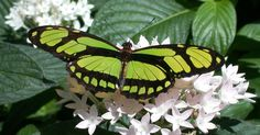 10 Most Beautiful Winged Insects – Who Says Bugs Are Icky?8. Crimson Rose Butterfly7. Rajah Brooke's Birdwing6. Scarce Bamboo Page