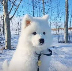 Samoyed: Selling cute is just my sideline - Page 10 of 14 - Gloria Love Pets Cute Dogs And Puppies, Baby Dogs, Doggies, Puppies Tips, Tiny Puppies, Cute Little Animals, Cute Funny Animals, Beautiful Dogs, Animals Beautiful