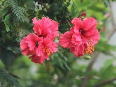 Will Food Coloring Dye Flowers Luxury How to Make organic Natural Purple Dye Dye Flowers, Apple Flowers, Edible Flowers, Hibiscus Flowers, Garden Soil, Garden Boxes, Garden Landscaping, Landscaping Design, Edible Garden