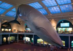 Blue whale in the Natural History Museum, New York.  When I was little I used to stand under this model and gaze up.  I was awestruck.