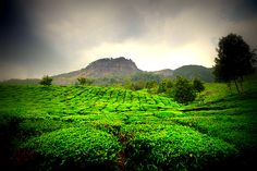 "Excerpt from article ""Sprawling tea plantations surrounds this beautiful and serene hill station Munnar. The soothing landscapes, scenic location and quiet atmosphere all invite visitors through the year, giving them the opportunity to unwind and unleash the adventurous side hidden within."""