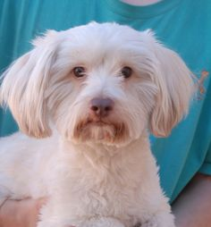Giovanni needs a forever home and asks for your consideration please.  He is a remarkably cute Lhasa-Poo, 2 years of age and neutered, good with other dogs, and debuting for adoption today at Nevada SPCA (www.nevadaspca.org).  Please plan and budget for regular professional grooming for Giovanni.