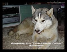 Funny husky pictures, siberian husky