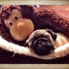 Imma sleepy #pug #sleep #puppy #monkey #dog #nofilter #snuggles #animals