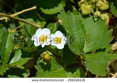 young strawberry flowers - stock photo