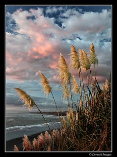 Toi Toi Grasses - I will see them sooooon :) The Beautiful Country, Beautiful World, New Zealand Landscape, Kiwiana, Seascape Paintings, Beach Art, Auckland, Beautiful Beaches, Wonders Of The World