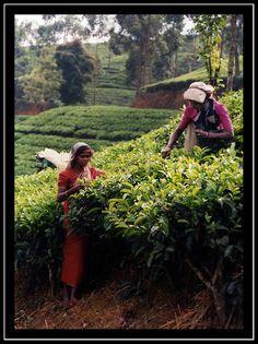 Tea harvest - Sri Lanka (Ph. by Sabine Schoep)
