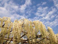 White wisterias