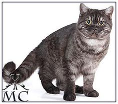 Colours of British shorthair and longhair cats. Short Hair Cats, Cattery, British Shorthair, Black Smoke, Cat Breeds, Cats And Kittens, Black Silver, Kitty, Colours