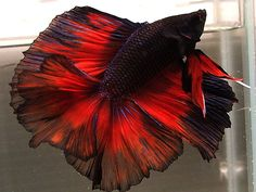 Only God could create something as spectacular as the Siamese Fighting Fish (betta)