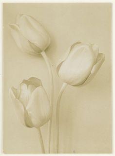 Drie tulpen, Richard Tepe, 1900 - 1930