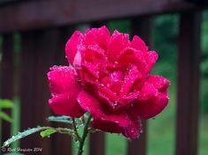 Rain drops on roses ...
