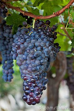 Bunch of Grapes Hanging on a Vine by Brigida Soriano, via Dreamstime